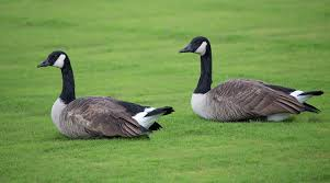 geese removal