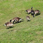 goose management
